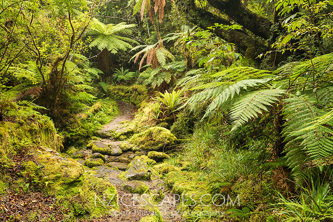 Copland track through native, lush green rainforest in Copland Valley, Westland National Park, West Coast, South Westland, World Heritage Area, New Zealand, NZ