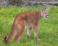 Mountain Lion standing and snarling in a grassy clearing - CA