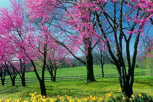 Redbud trees and daffodils blooming in spring along the fence iine to the horse farm