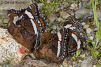 "0704-0801  Group of White Admiral Butterfly ""Drinking Moisture from Animal Feces"", Limenitis arthemis ""Northeast United States Form""  © David Kuhn/Dwight Kuhn Photography"