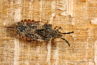 Rindenwanze, Aradus depressus, flat bug, Rindenwanzen, Aradidae, flat bugs