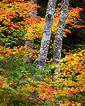 Mount Baker-Snoqualmie National Forest, Washington: Red alder (Alnus rubra) trunks with fall colors of vine maple (acer circinatum) branches
