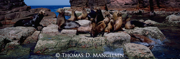 From the crystalline blue waters of the Sea of Cortez, a herd of sea lions hauls out onto the rocky outcropping of a small island halfway between Baja California and the western shore of Mexico.