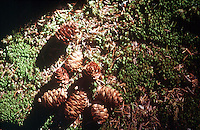 PINECONES<br /> Immature Norway Spruce Pinecones<br /> Picea Abies<br />  Acadia National Park