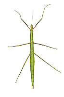 Unarmed Stick Insect - Acanthoxyla inermis