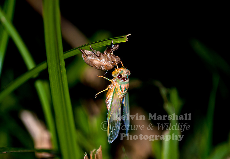 A fully-winged adult Cicada slowly emerges from its old empty nymphal skin.