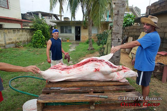 Harvesting A Hog