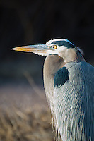 Blue Heron at Bosque del Apache Wild Life Refuge in New Mexico.