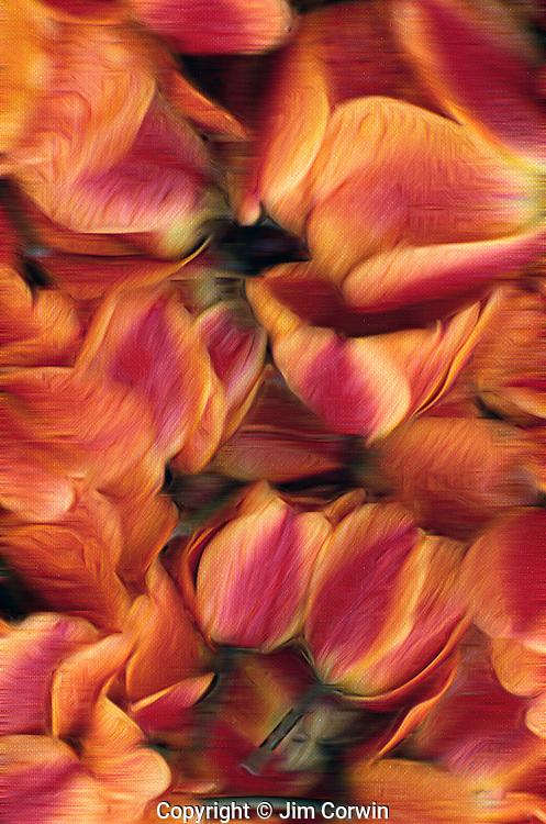Cut tulips lying in basket Mount Vernon Washington State USA