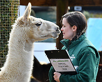 Llama Glama at London Zoo stocktake<br /> Annual stocktake of every creature in the zoo, spanning 850 species, postponed from January after a fire in just before Christmas last year, in which a number of animals died, at London Zoo <br /> London Zoo Stocktake photocall, London, England on February 07, 2018.<br /> CAP/JOR<br /> &copy;JOR/Capital Pictures
