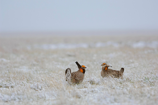 Adult male Greater Prairie-Chickens on a snow covered lek.  Managed grasslands provide much of the remaining habitat for this once widespread species. Ft. Pierre National Grassland in South Dakota.