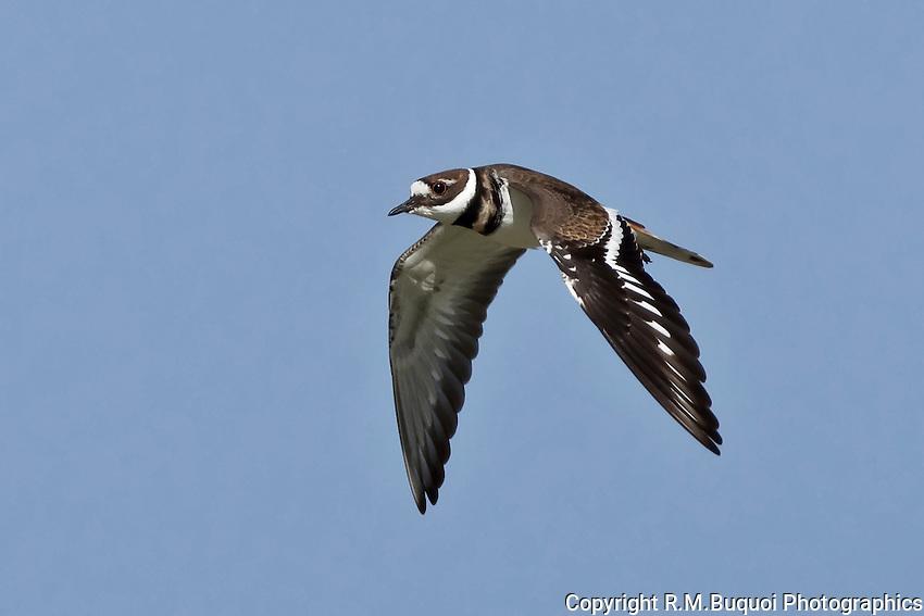 Killdeer in Flight