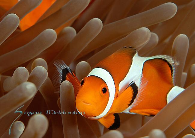 False Clownfish, Amphiprion ocellaris