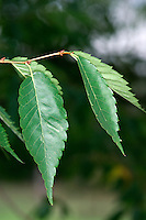 Keaki Zelkova serrata (Height to 26m). Similar to Caucasian Elm Z. carpinifolia. Has young twigs that are hairy at first, becoming smoother with age. Leaves are more markedly toothed and smooth below. Fruits are smooth and rounded.