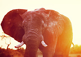 BOTSWANA, Africa, Chobe National Park and Game Reserve, Bull Elephant at Sunset