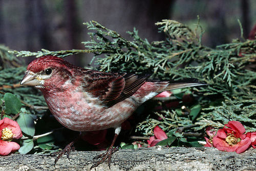 Female purple finch, Carpodacus purpureus, in spring perched on log  with wild quince flowers, Maine USA