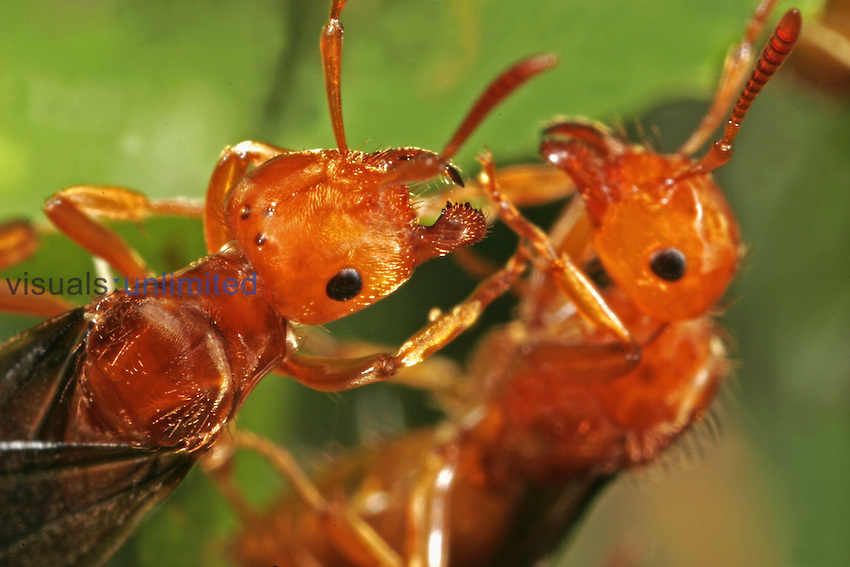 Close up view of Red Ant heads in the flying phase (Formica), Family Formicidae, New Hampshire, USA