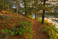 White pine trees on trail at George Lake<br />