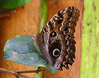 Caligo eurilochus morpheus
