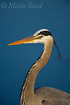 Great Blue Heron (Ardea herodias), adult in breeding plumage, Montezuma National Wildlife Refuge, New York, USA