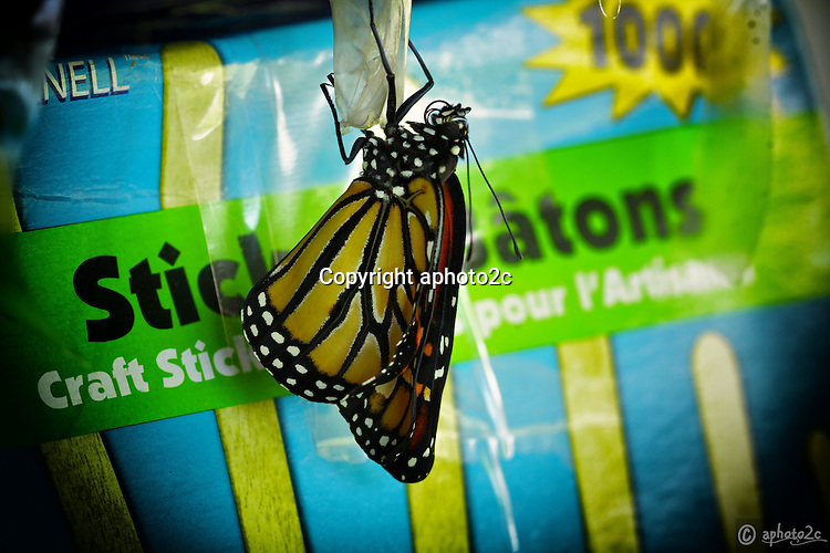 Life cycle of a Monarch butterfly. Natures amazing life cycle