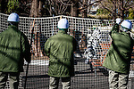 February 2, 2016, Tokyo, Japan - A zoo staff member dressed in a zebra costume is seen roaming the grounds as zookeepers hold up a net in a attempt to capture the fake zebra at Tokyo's Ueno Zoo during a animal escape emergency drill. (Photo by AFLO)