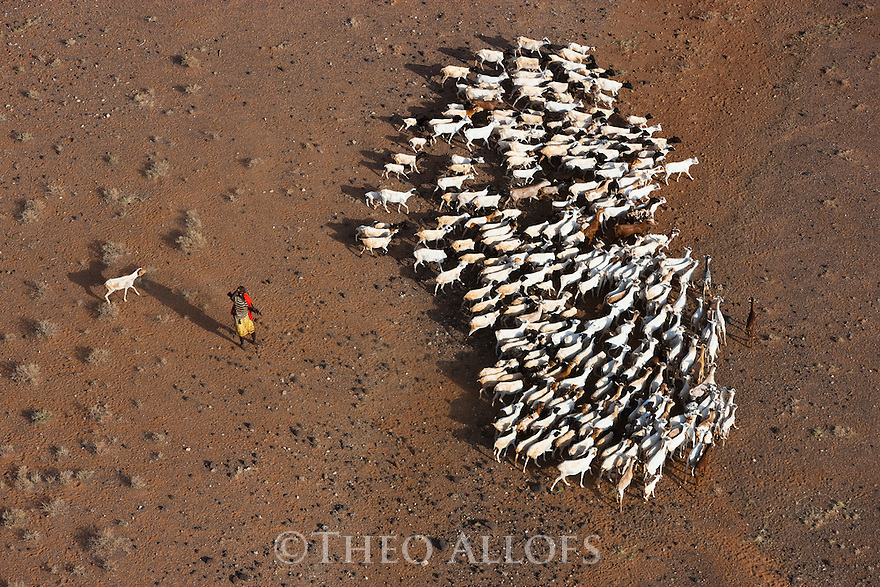 Kenya, Rift Valley, Rendille tribesman herding goats across Chalbi Desert towards oasis. Herder carries a machine gun to protect his life stock from theft by other tribes