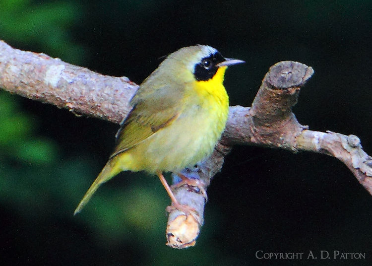 Adult male common yellowthroat