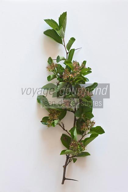 Europe/France/Ile-de-France/75012/Paris: Aubépine - Crataegus laevigata .<br /> Plantes médicinales- Jardin de l'Ecole du Breuil dans le Bois de Vincennes