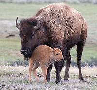 During my April visit, new bison calves were just beginning to drop.  This one wasn't more than a couple hours old.