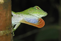 .Neotropical Green Anole (Anolis biporcatus) adult, displaying with throat pouch, Braulio Carrillo National Park, Costa Rica