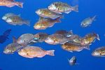 Sparisoma rubripinne, Yellowtail parrotfish, Roatan