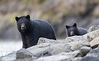 A black bear sow and cub put on a show for us as they scavenged for salmon carcasses along a riverbank.