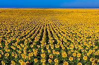 Kansas-Goodland-Sunflower Fields