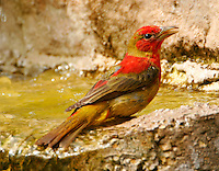 Summer tanager first-spring male bathing