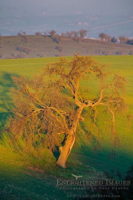 Morning light on Oak Tree & Green Hills, Thomas Hill Farms, Paso Robles, San Luis Obispo County, California