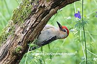 01196-03418 Red-bellied Woodpecker (Melanerpes carolinus) male in flower garden, Marion County, IL