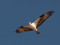 Osprey flying overhead