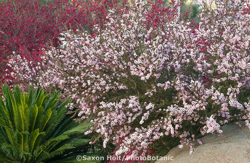 Drought tolerant white flower shrub Leptospermum 'humifusum' New Zealand Tea Tree in Southern California garden