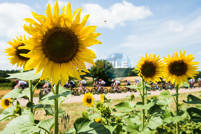 The peloton pass sunflower fields during Stage 7 of the 104th edition of the Tour de France 2017, running 213.5km from Troyes to Nuits-Saint-Georges, France. 7th July 2017.<br /> Picture: ASO/Alex Broadway | Cyclefile<br /> <br /> <br /> All photos usage must carry mandatory copyright credit (&copy; Cyclefile | ASO/Alex Broadway)
