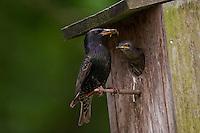 Sturnus vulgaris, Starling, Étourneau sansonnet, am Nistkasten, mit Futter im Schnabel, Insektenfresser, füttert Küken