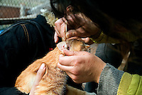 A volunteer inspects cars for signs of illness and cleans their ears at Ha Wenjin's no-kill dog and cat rescue farm outside Nanjing, Jiangsu, China.