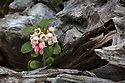 Cowberry {Vaccinium vitis-idaea} growing out of a dead pine stump. Nordtirol, Austrian Alps. June.
