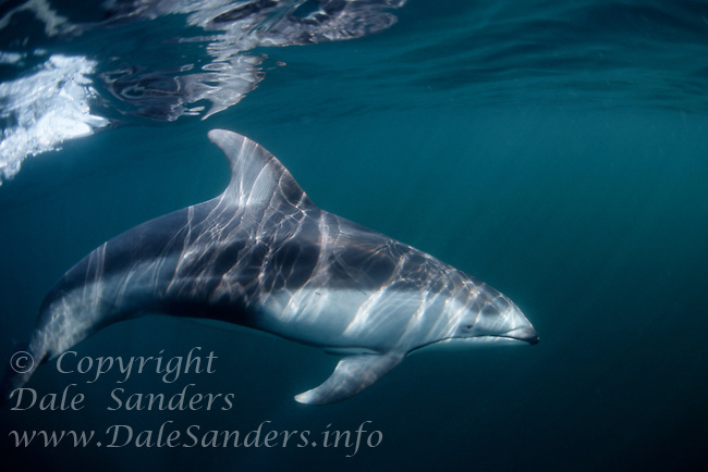 Pacific White-Sided Dolphin (Lagenorhynchus oblquidens) underwater in Queen Charlotte Strait off northern Vancouver Island, British Columbia, Canada.