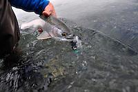A spring caught Susitna river rainbow trout, Alaska.