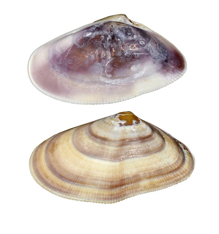banded wedge shell<br /> donax vittatus
