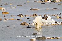 01874-13019 Polar Bear (Ursus maritimus) walking along the edge of Hudson Bay during low tide Churchill Wildlife Management Area, Churchill, MB