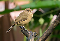 Clay-colored Thrush, Turdus grayi, perched on a branch in Sarapiquí, Costa Rica