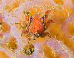The tiny southern teardrop crab: Pelia rotunda, no bigger than a finger nail.
