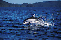 nb117. Pacific White-sided Dolphin (Lagenorhynchus obliquidens) leaping. British Columbia, Canada, Pacific Ocean..Photo Copyright © Brandon Cole.  All rights reserved worldwide.  www.brandoncole.com..This photo is NOT free. It is NOT in the public domain...Rights to reproduction of photograph granted only upon payment of invoice in full.  Any use whatsoever prior to such payment will be considered an infringement of copyright...Brandon Cole.Marine Photography.http://www.brandoncole.com.email: brandoncole@msn.com.4917 N. Boeing Rd..Spokane Valley, WA 99206   USA..tel: 509-535-3489